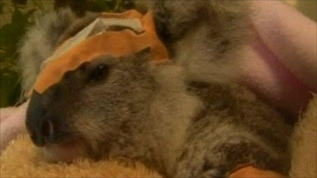 Frodo the koala