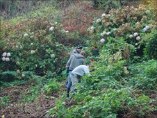 Japanese knotweed clearance