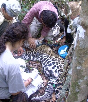 The team fitting a GPS collar to a wild jaguar (Image: Fernando Colchero)