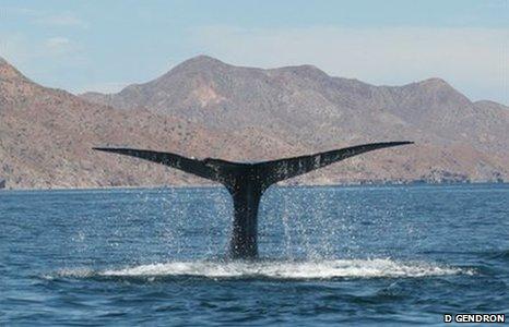 Blue whale fluke (Image: Diane Gendron)