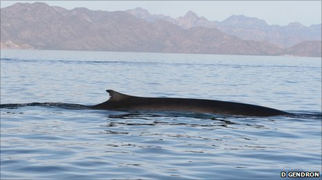 Fin whale (image: Diane Gendron)