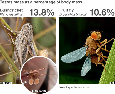 Comparison of testes mass as percentage of body mass - bushcricket v fruit fly