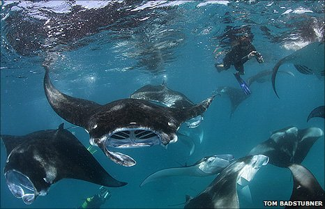 People swimming with Manta rays
