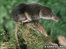 A common shrew