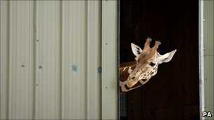 Giraffe at zoo peeking out