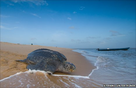 Leatherback turtle at Sandy Point National Refuge in the Virgin Islands (Stefano Unterthiner)