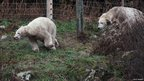 Polar bears Mercedes, right, and Walker