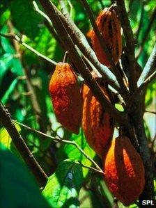 Theobroma cacao (SPL)