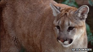 Mountain lion (file image)