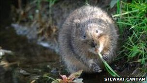 Watervole in Dorset stream (by Stewart Canham)