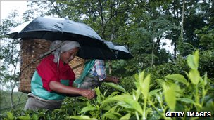Tea pickers in India