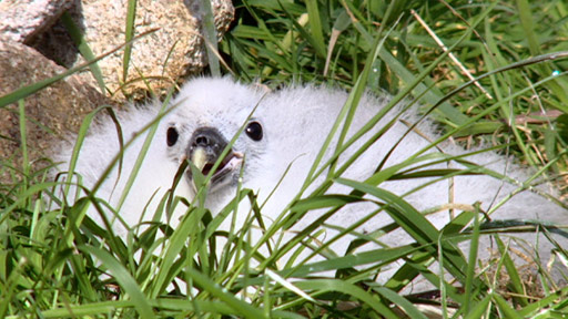Fulmar chick