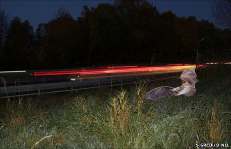 Bat foraging near a motorway (Image: Stefan Greif/ Dietmar Nil)
