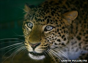 The leopard's three-month pregnancy may results from its more complex placenta