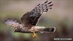 Hen Harrier [Pic: RSPB Scotland]