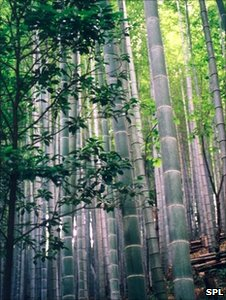 Bamboo forest (Image: SPL)