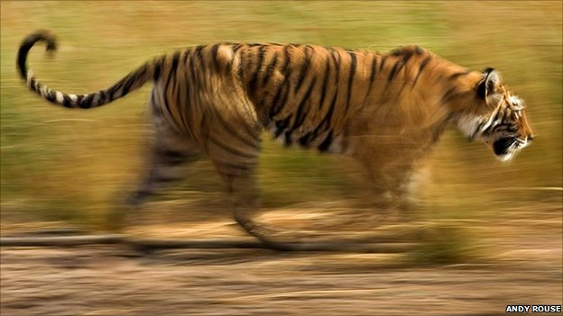 A tiger charging its prey