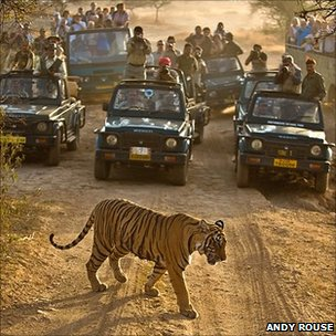 Tiger crossing the path of tourists&#039; vehicles
