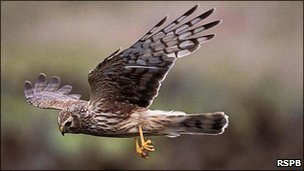 Hen Harrier (pic courtesy of RSPB)
