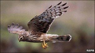 Hen Harrier (pic courtesy of RSPB)