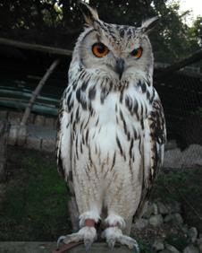 Baldrick, the rock eagle owl
