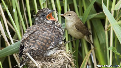 Reed warbler feeding cuckoo chick (c) Andy Sands / NPL