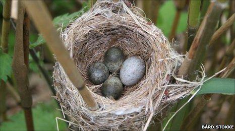 Reed warbler nest (Image: Bard Stokke)