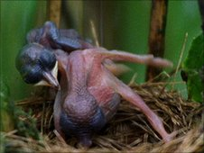 A cuckoo chick ejects its nestmates