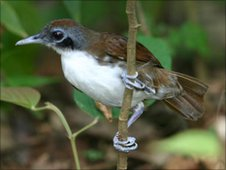 Antbird at the swarm front, waiting for the ants to flush out arthropods. Image: Stefanie Berghoff