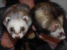 Ferrets Crusher and Truffle