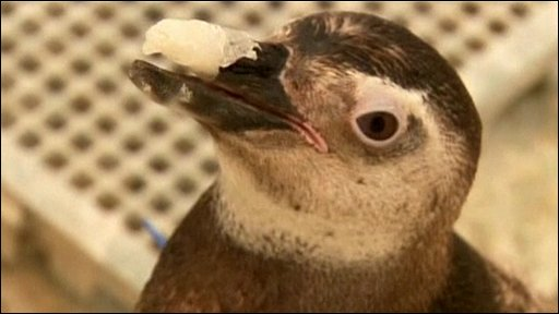 Penguin gets new beak