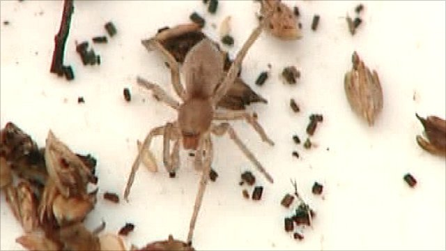 Rosser's sac spider