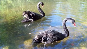 The stolen swans