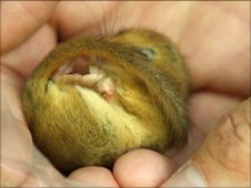 Infant dormouse