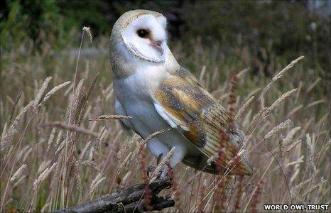 Barn owl (Image: World Owl Trust)