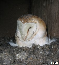 Barn owl in a nest box (Image: Barn Owl Conservation Trust)