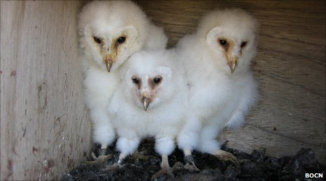 Owlets in a nest box (Image: Barn Owl Conservation Network)