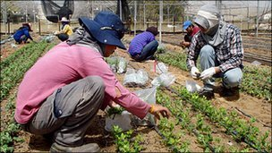 Thai workers on an Israeli farm