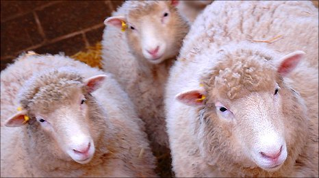 BBC - Sheep clones 'in better health' than original Dolly