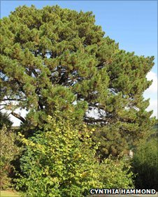 Austrian pine planted by suffragette Rose Lamartine Yates on 30 October 1909