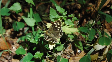 A female speckled wood butterfly (c) Christer Wiklund