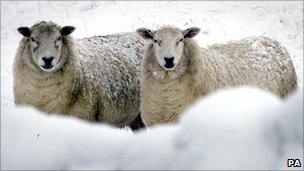 Sheep in a frozen field