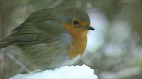 Robin (image: VT freeze frame)
