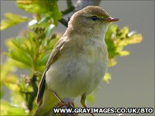 Willow warbler (www.grayimages.co.uk/BTO)