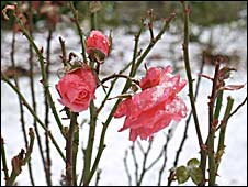 Snow on roses at Castle Drogo