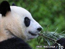 Panda eats bamboo (c) Eric Baccega / NPL