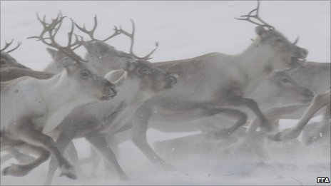 Herd of reindeer (Image: European Environment Agency)