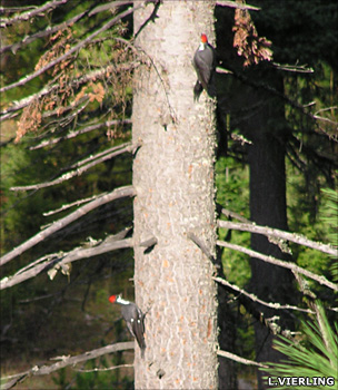 Pileated woodpeckers (Lee Vierling)