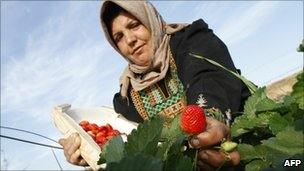 A woman harvests strawberries in Beit Lahia, northern Gaza Strip (29 Nov 2010)