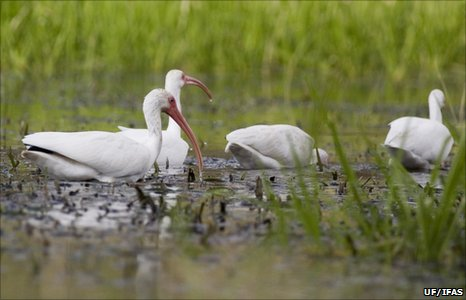 White ibises (Image: University of Florida's Institute of Food and Agricultural Sciences)